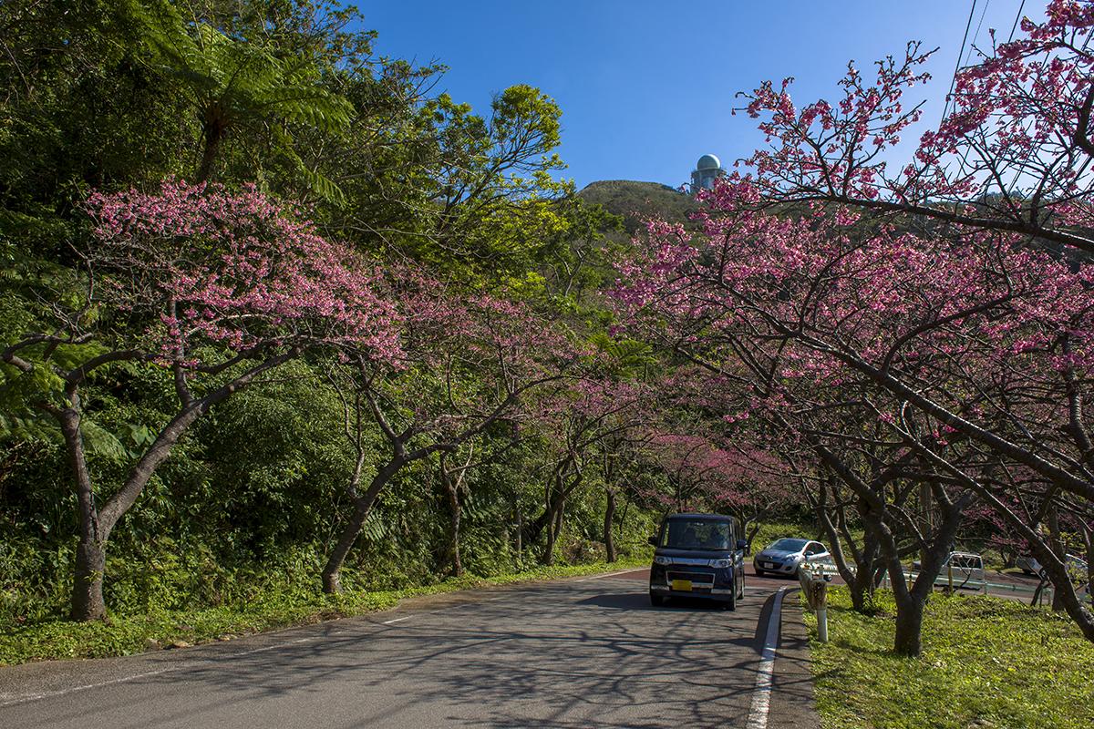 motobu_yaedake_cherry_blossoms