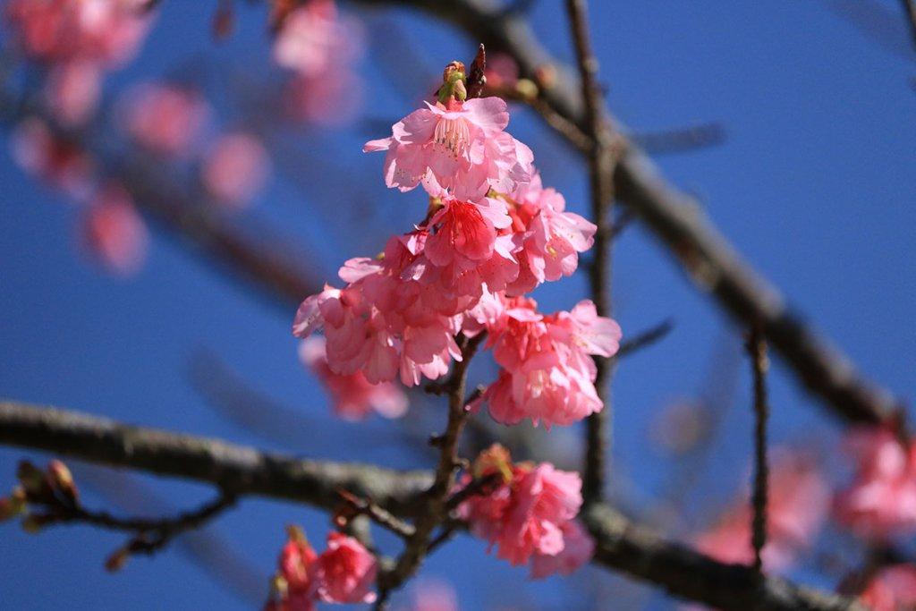 nago_jyoshi_park_cherry_blossoms