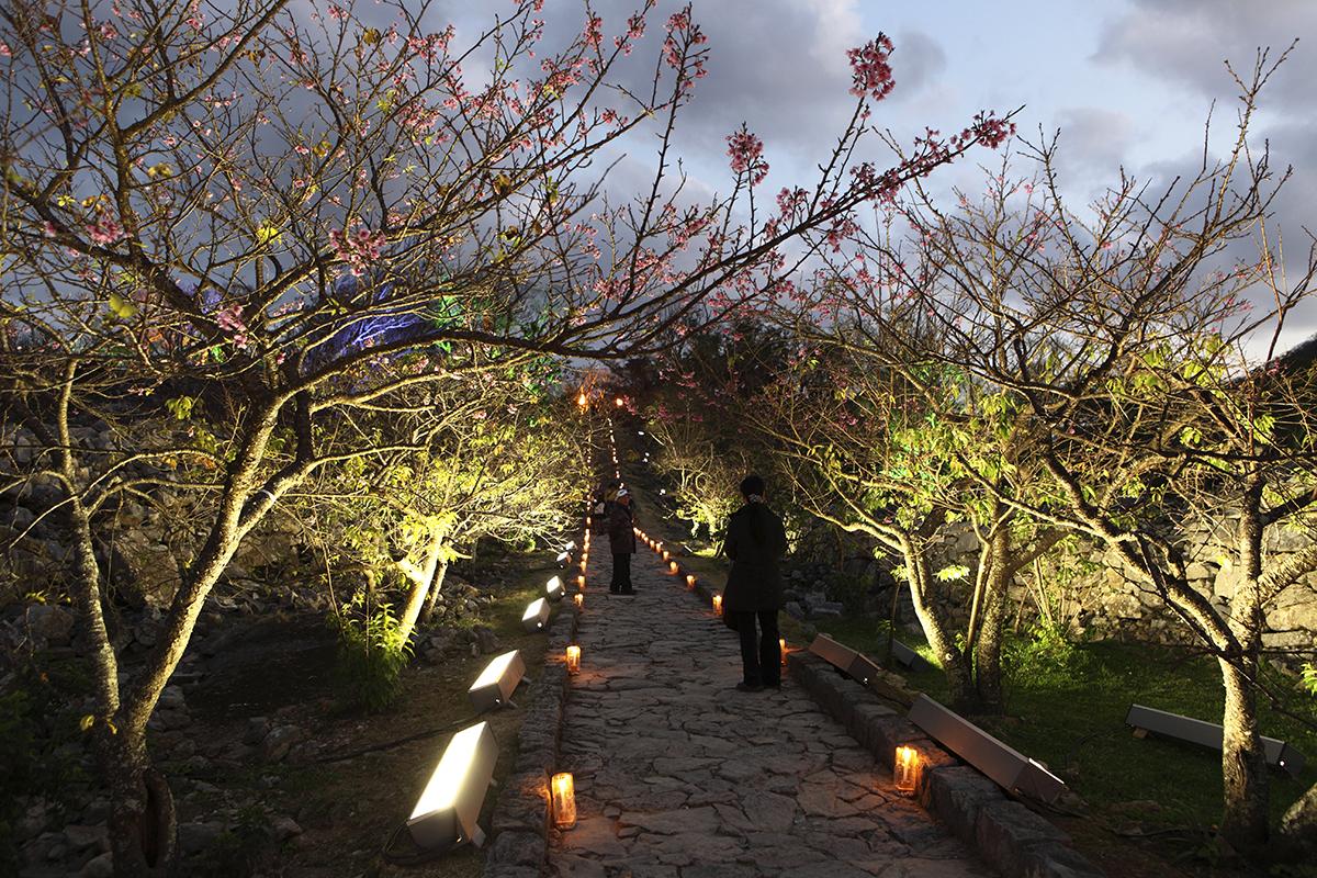 nakijin_cherry_blossoms