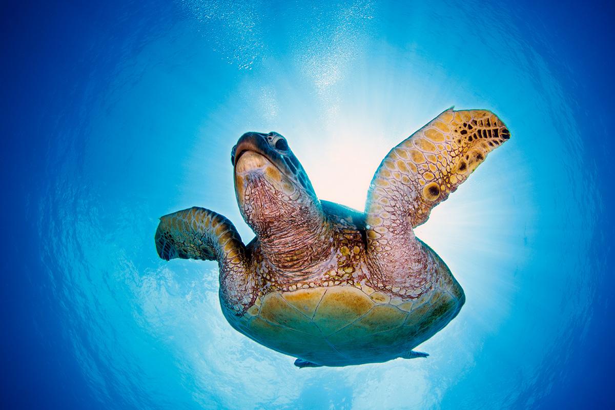 Diving Image Sea Turtle