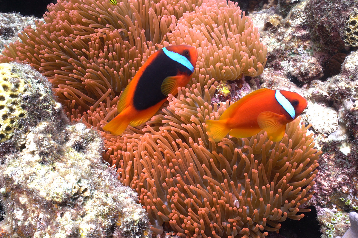 Diving Image Clownfish