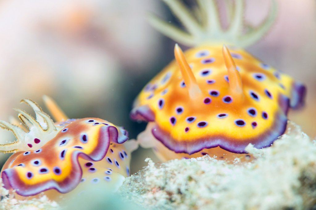 Diving Guide Image Nudibranch