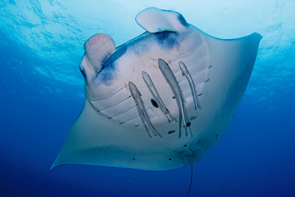 Diving Guide Image Manta